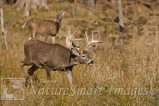 White-tailed Deer buck chase Tekiela J1V8846