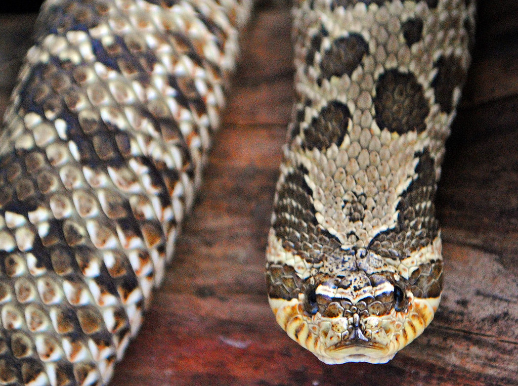 The World's Best Photos of hognose and morph - Flickr Hive Mind
