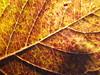An Imaginary Forest #171 (tt64jp) Tags: 植物 japan japanese 日本 nature plants tree leaf leaves forest 森 葉 自然 plant 群馬 桐生 gunma kiryu flora foliage アジサイ 紫陽花 hydrangea 葉脈 vein 秋 fall autumn 黄色 黄 yellow 茶色 brown 紅葉 coloredleaves japon 일본 veins