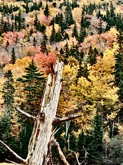 Trunk and Trees (photo fiddler) Tags: tree october trunk capebreton hillside 2014