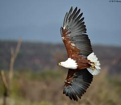 DSC_3555 (mnreddy9) Tags: kenya africanbirds lakebaringo nikond4s africanfisheagleinflight
