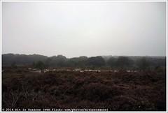 Schaapskudde op de Noetselerberg (Dit is Suzanne) Tags: autumn dog mist netherlands fog sheep shepherd walk herfst nederland pieterpad goat hond herd overijssel geit wandel
