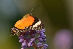 Leopard lacewing (Rene Mensen) Tags: orange butterfly nikon rene lacewing mensen leopardlacewing d5100