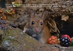 Woodmouse (Alan Woodgate) Tags: