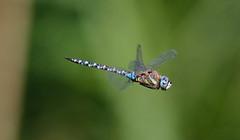 Migrant Hawker ♂ (Aeshna mixta (Latreille, 1805)) IUCN LC (Cyprus Bird Watching Tours - BIRD is the WORD) Tags: aeshnamixta httpwwwbirdingtourscyprusbitwcom dragonfly macro nature flickr canon cyprus wildlife colour color