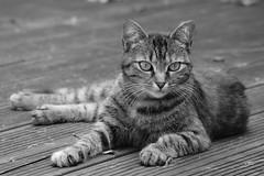 Attitude féline **---+°--° (Titole) Tags: noiretblanc nb bw blackandwhite titole nicolefaton gato gatto kat katze kitten cat chat gaïa friendlychallenges thechallengefactory unanimouswinner gamewinner 15challengeswinner