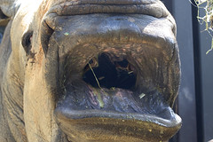 """♪ do-re-me-fa-so-la-ti-dooo ♪♪"" (ucumari photography) Tags: animal mouth mammal zoo nc north pachyderm may stan stanley rhino carolina rhinocerus 2015 specanimal ucumariphotography dsc3043 southernwhite"