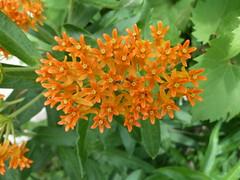 Butterflyweed (Asclepias tuberosa) (Tom Wassmer) Tags: nativeplants butterflyweed asclepiastuberosa