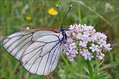 Aporia-crataegi_1 (amadej2008) Tags: white blackveinedwhite aporiacrataegi aporia belinke taxonomy:binomial=aporiacrataegi baumweisling belinka glogovabelinka