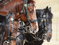 THE WIND OF HEAVEN IS THAT WHICH BLOWS BETWEEN A HORSE'S EARS.  ~Arabian Proverb (Irene2727) Tags: horse horses closeup fauna animal two couple outside portrait nature