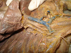 vessels_cat_05 (biologycorner) Tags: cat circulatory system artery vein aorta vena cava celiac mesenteric renal jugular carotid subclavian