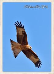 MILANO REAL (Milvus milvus) (JORGE AMAYA BUSTAMANTE - JAKKEMATE) Tags: milano real milvus nikon d500 sigma 150500 jorge amaya bustamante jakkemate birds wildlife nature