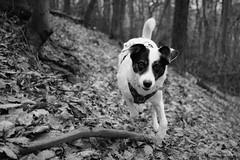 11/52 – ordinary day (stephubik) Tags: bubak dog black white running hideandseek 52weeksfordogs