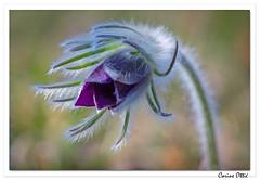 Anémone pulsatille (C. OTTIE et J-Y KERMORVANT) Tags: nature fleurs fleurssauvages anémones anémonepulsatille alsace france