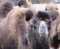 You're really givin me the ump (White Pass1) Tags: camel chesterzoo chester givinmetheump givingmethehump