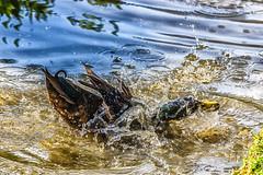 Badespaß (christian richerzhagen) Tags: vogel grefrath nrw freilichtmuseum canon eos 7d 70300mm animal tier tiere outdoor wasser spritzer ente erpel laufente bach duck