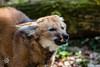 20170402-Mähnenwolf, Tiergarten Nürnberg-002.jpg (serpentes80) Tags: mähnenwolf tiere tiergartennürnberg