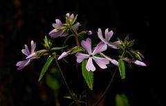 Phlox_9618 (McConnell Springs) Tags: mcconnellspringspark phlox lexingtonparksrecreation lexingtonky wildflower mcconnellsprings