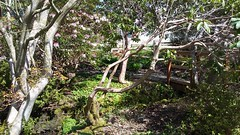 The Connie Hansen Garden, Lincoln City, Oregon (David A's Photos) Tags: connie hansen garden lincolncity lincolncounty oregon april2017 plants rhododendrons