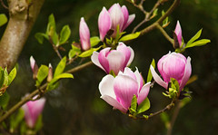 Magnolienträume (Seahorse-Cologne) Tags: frühling spring flowerpower blüten farbenpracht farbexplosion köln cologne forstbotanischer garten rodenkirchen nrw germany magnolie