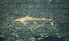 chadsparkesphotography canoneosrebelt5 shark fish aquarium seaworldorlando seaworld themepark water orlandoflorida orlando florida