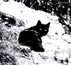 Occhi di gatto (michelecipriotti) Tags: calabria cariati terravecchia natura gatto occhi biancoenero campagna montagna sguardo