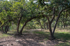 Forest - Lost Maples State Natural Area - Bandera County - Texas - 13 November 2016 (goatlockerguns) Tags: hill country view lost maples state natural area bandera county texas usa unitedstatesofamerica south southern southwest nature park hills hillcountry