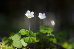 Mise en lumière (Fabien Husslein) Tags: oxalis acetosella petite oseille bois pain de coucou fleur flower foret forest wood light lumiere macro bokeh art spring printemps