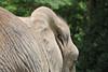 D3X_2342 (Akira Uchiyama) Tags: 動物たちのいろいろ 耳 耳アフリカゾウ