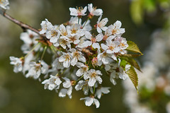 Spring Blossom (paulinuk99999 (really busy at present)) Tags: paulinuk99999 hampton court palace gardens flower london surrey flora spring 2017 april blossom sal135f18za