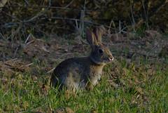 Conejo tomando el sol // Rabbit sunbathing (Cazadora de Fotos) Tags: rabbit sunbathing conejo mamiferos ibericos fauna animales animals natura naturaleza campo