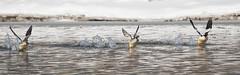 Merganser Dance (Knarr Gallery) Tags: ducks water river mergansers grandriver flight waterloo ontario canada nikon d300 tamronsp150600mmf563divcusd wildlife nature birds birdwatching