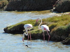 Flamingos and a cormorant in front I didn't notice when taking the photo! (rjmiller1807) Tags: flamingo pink cormorant swimming dancing ave avian capetown southafrica woodbridge woodbridgeisland 2017 march green