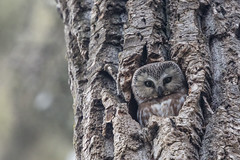 Saw-whet (Peter Stahl Photography) Tags: sawwhet sawwhetowl owl spring stalbert cavity