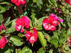Catharanthus roseus (Madagascar periwinkle): Botrytis blight of flowers (Scot Nelson) Tags: catharanthus roseus madagascar periwinkle botrytis blight flowers cinerea