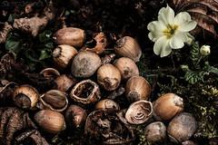 Dinner, Interrupted (SkyeWeasel) Tags: macromondays seeds hazelnuts macro woodland primrose primula nuts
