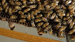 Cronology of a swarm or (alansurfin) Tags: honeybees apismellifera abejas abeilles bienen bees comb queen cells beekeeping beehive frame apicultura api