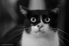_MG_8217 Merlino (Dante Guazzo Giorgio) Tags: 2014 cumiana felini
