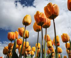 Tulips (Frank van Dam Utrecht) Tags: tulip creil noordoostpolder