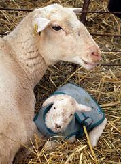 Lamb in coat (baalands) Tags: katahdin hair sheep ewe lamb coat pen