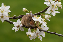 Springtime (Tim Melling) Tags: harvest mouse microtus minutus timmelling