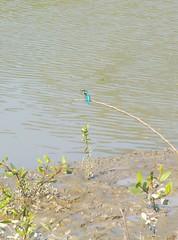 মাছরাঙ্গা (King Fisher) (ferdoush007) Tags: bangladeshi natural beauty bd beautiful scene wow nice bangla বাংলাদেশ বাংলাদেশের প্রাকৃতিক সৌন্দর্য বাংলার রূপ গ্রাম গ্রাম্য countryside country side village নদী river