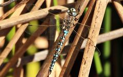 Rhionaeschna multicolor (TJ Gehling) Tags: insect odonata anisoptera dragonfly aeshnidae darner blueeyeddarner rhionaeschna rhionaeschnamulticolor canyontrailpark elcerrito