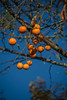 Autumn Persimmons On The Tree (aeschylus18917) Tags: danielruyle aeschylus18917 danruyle druyle ダニエルルール japan 日本 fruit tree persimmon 28300mm nagano 長野県 agematsumachi 上松町 kisoriver 木曽川 kisovalley 木曽谷 nezamenotoko 寝覚めの床 nezamenotokogorge nezamegorge ebenaceae diospyroskaki カキ pxt