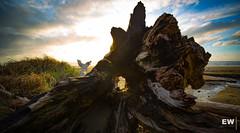 Aged Beauty (Edward Wilson Photography) Tags: oregon beach wood drift sunset rays dream newport ocean clouds lanscape travel nature adventure light