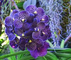 Purple Orchids At CBG (ladyinpurple) Tags: lightroom topaz adjust cbgorchidshow