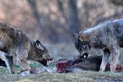 Wilki ( Canis lupus ) WOLF (Zdjęć kilka...) Tags: bieszczady marzec 2017 wilki canis lupus wolf przyroda wilk natura nature wild drobot łukasz las lasy fotografia przyrodnicza