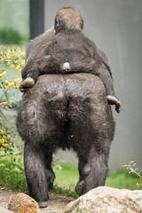 2017-04-08-13h42m04.BL7R2894 (A.J. Haverkamp) Tags: canonef100400mmf4556lisiiusmlens shae shindy amsterdam noordholland netherlands zoo dierentuin httpwwwartisnl artis thenetherlands gorilla sindy pobrotterdamthenetherlands dob03061985 pobamsterdamthenetherlands dob21012016 nl