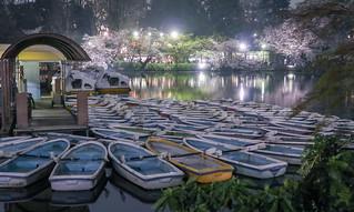 Cherry blossoms at Inokashira Park(3)