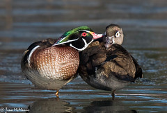 Sweethearts (NorthShoreTina) Tags: wood ducks